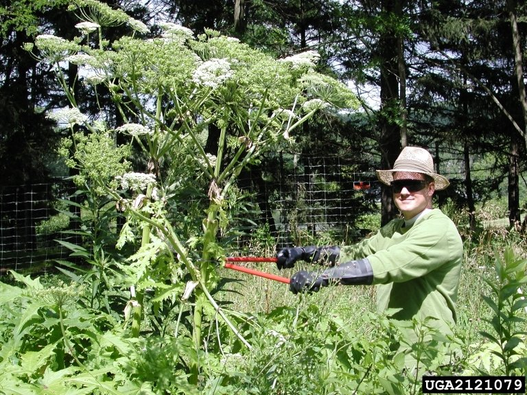 giant hogweed scale