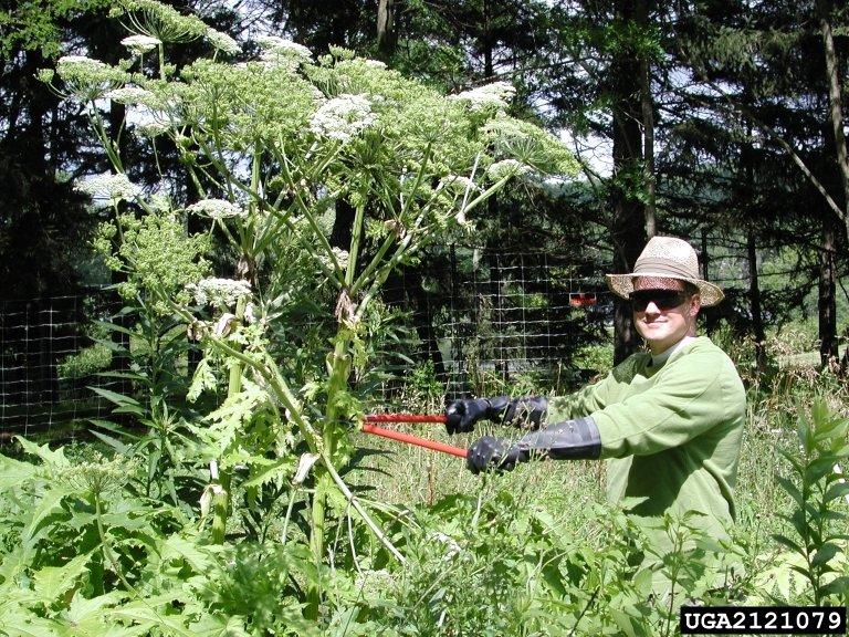 giant hogweed scale