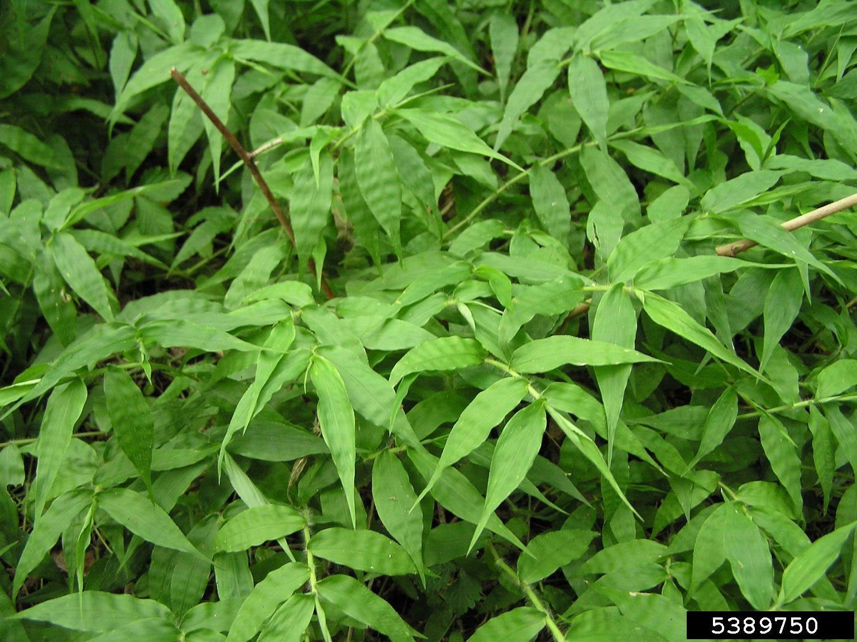 wavyleaf grass