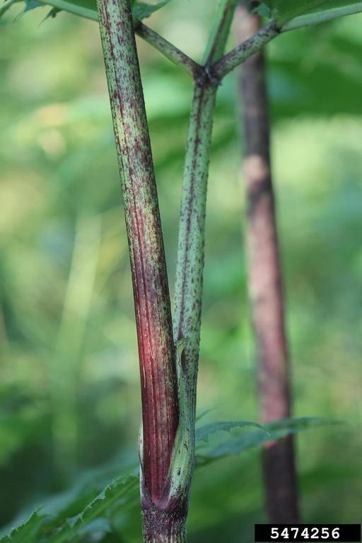 giant hogweed stem