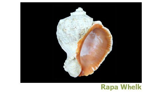 Rapa Whelk