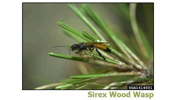 sirex wood wasp